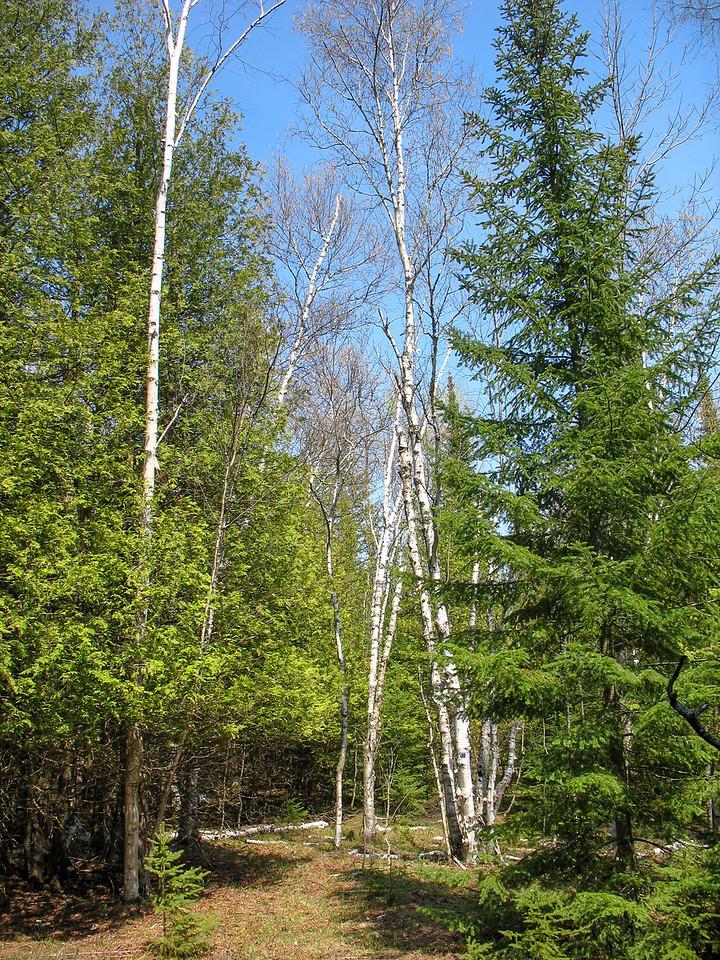 Cedar, Birch, & Spruce...