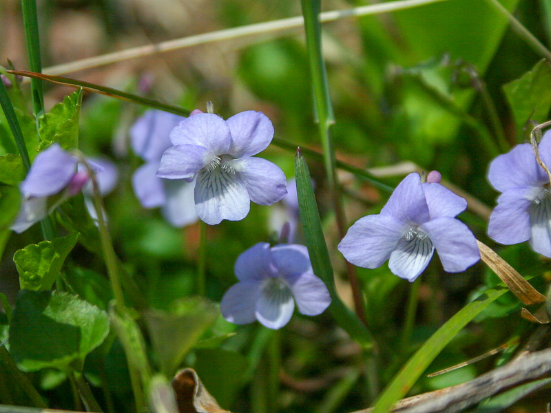 There were hundreds of these tiny Blue Violets along the shore of the pond...