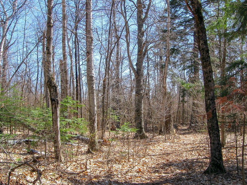 As the trail leaves the lakeshore the forest abruptly leaves the pines for hardwoods...