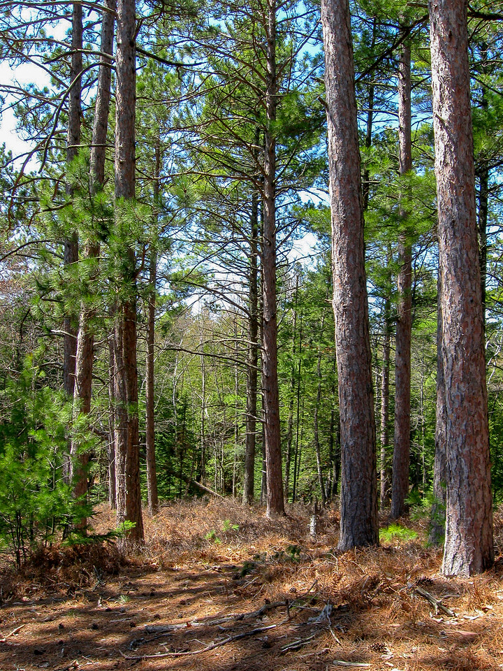 Between Mt. Nebo and Goose Pond the trail enters a mature Red Pine plantation...