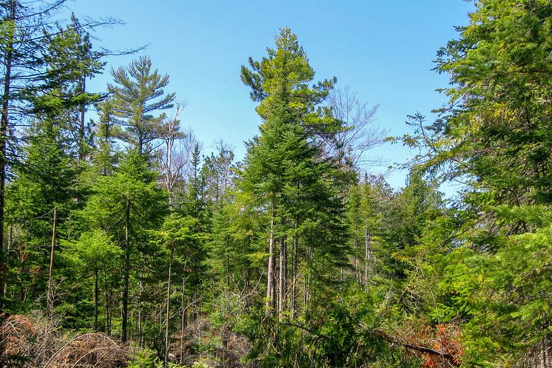 Nearer the lake, Pine Forest predominates...
