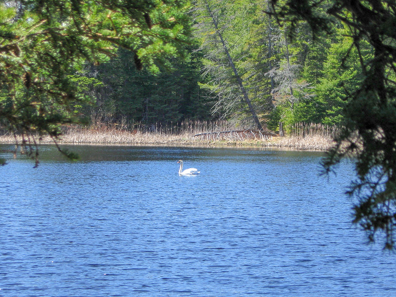 This graceful Mute Swan welcomed me to Goose Pond...