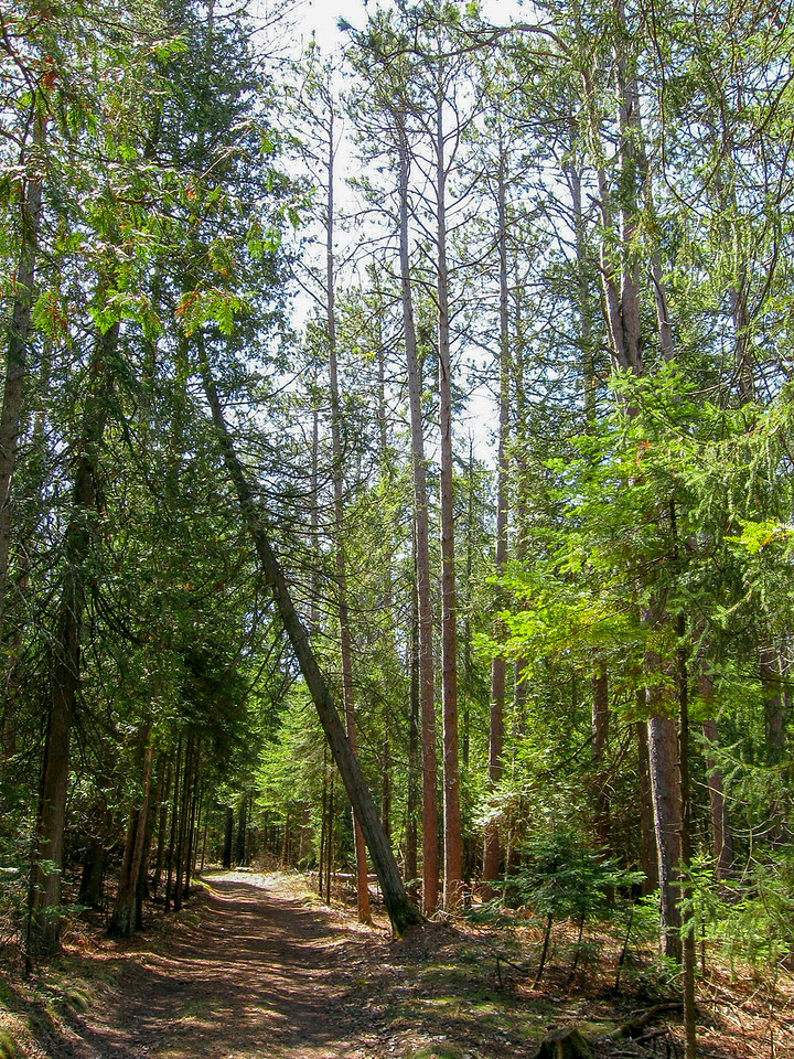 The Nebo Trail starts out as an old two-track beneath tall Red Pines...