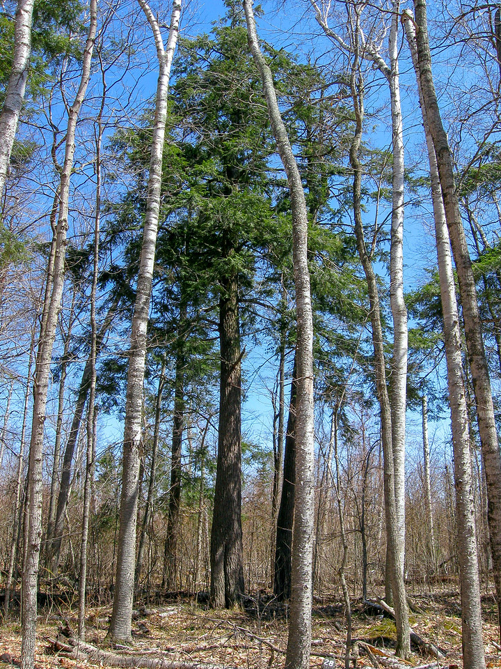 """The guide stated I would pass through an """"old-growth Hemlock stand.""""  The hemlocks were impressive but the stand only consisted of around six trees..."""