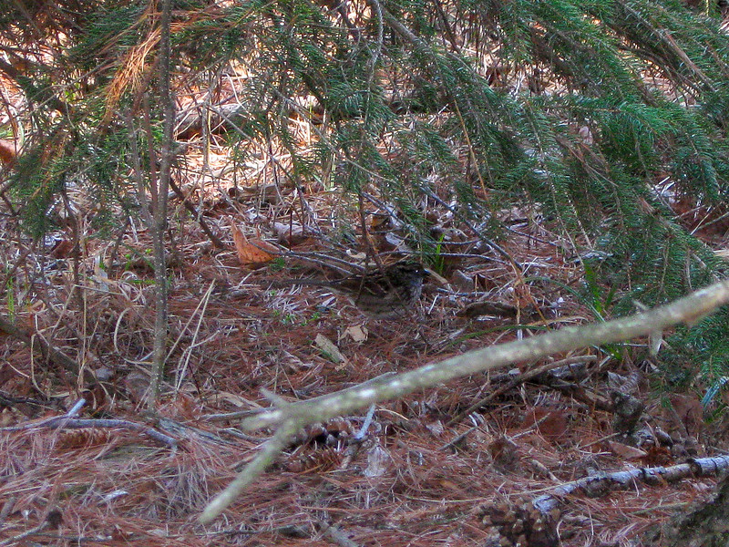 A small sparrow trying to hide beneath some nearby pines...