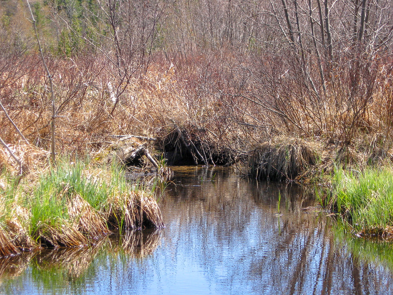 Trying to wait a beaver out of his lodge is an exercise in futility, but I tried none-the-less...
