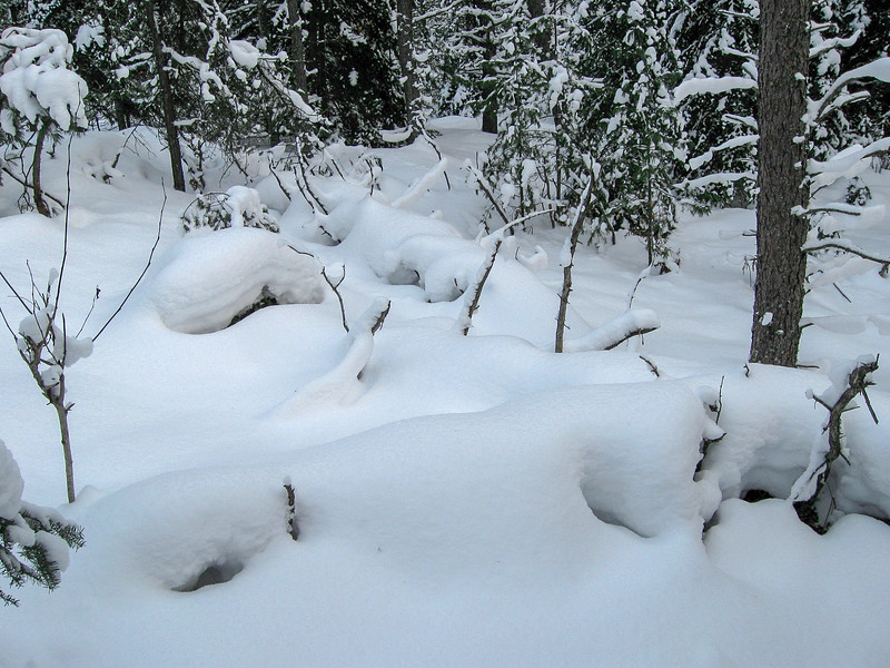 The thick snow pack makes wonderful shapes out of fallen trees...