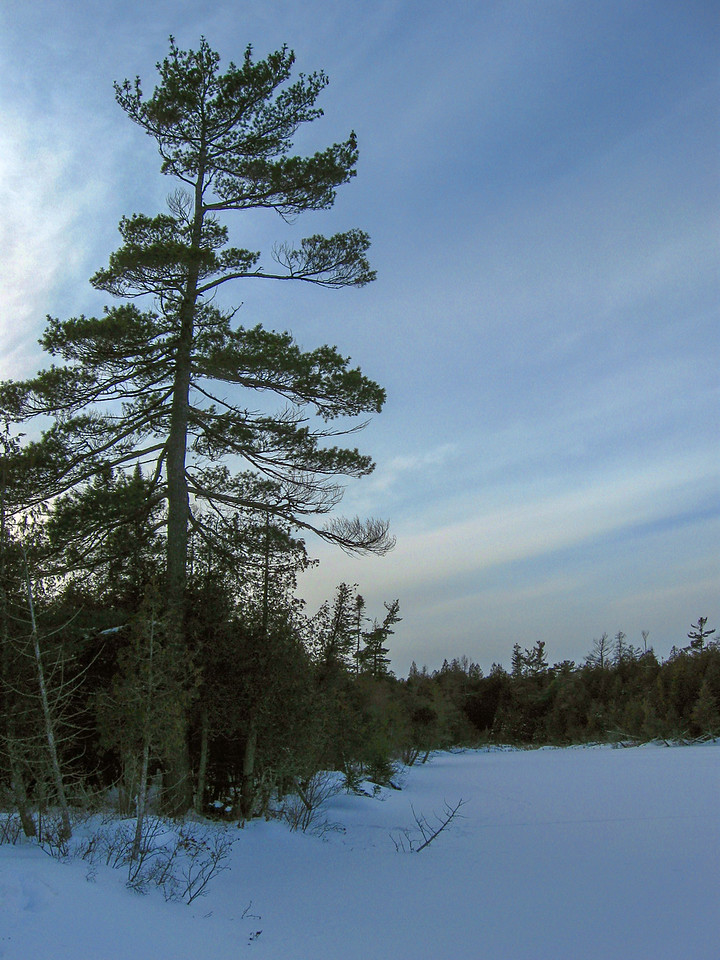 King of the Northwoods, a towering White Pine stands over the southern shore of Crow Lake...