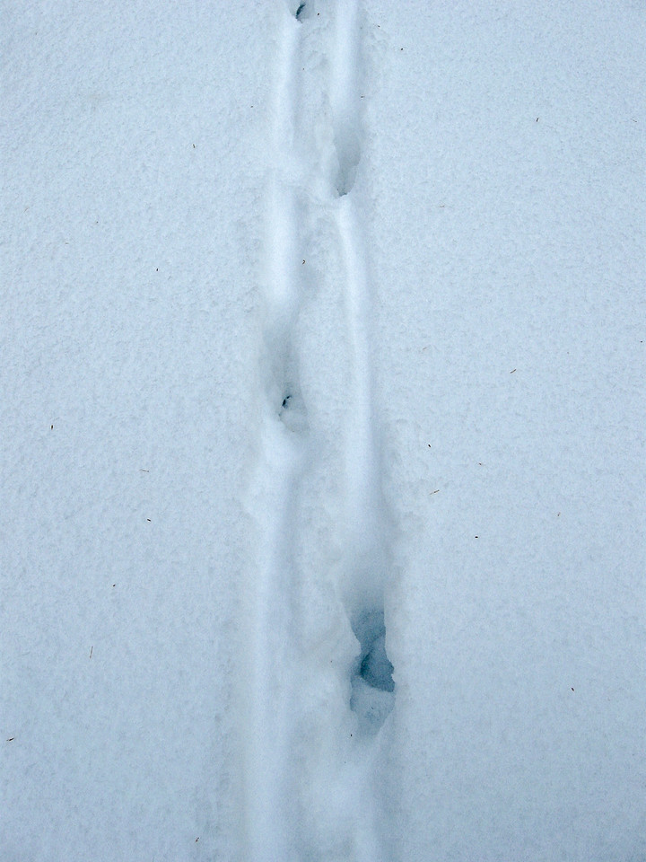 Tracks in the snow of what looks be some kind of canine...possibly a coyote...