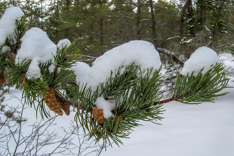 A close-up of a snow-capped Jackpine branch...