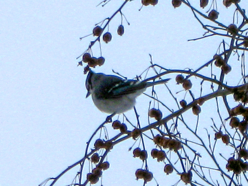 The winter fruit also attracted this Blue Jay...