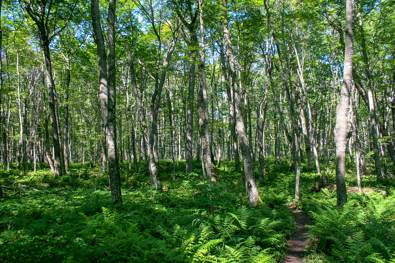 A northern hardwood forest with a thick fern carpet...quite typical of inland areas of the Lakeshore.