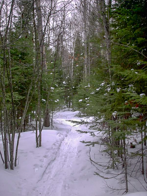 <b>Between the Pines</b> - The trail soon leaves the road and quickly narrows as it winds between the pines.