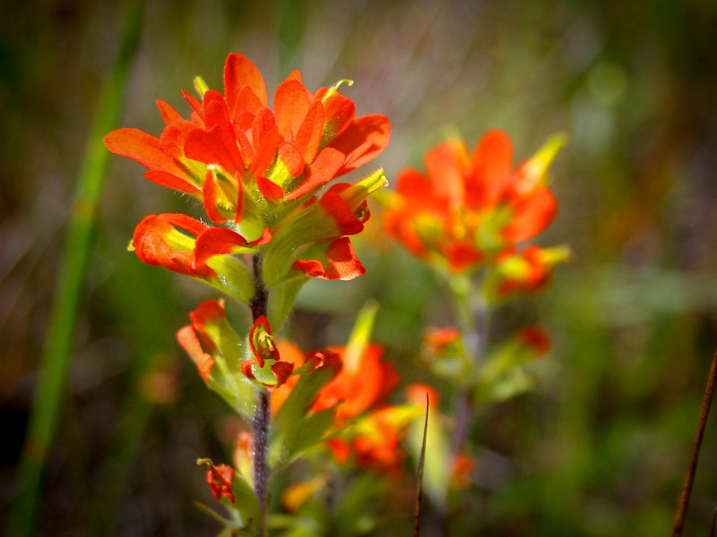I was quite excited to find this small group of Indian Paintbrush, a rare treat...