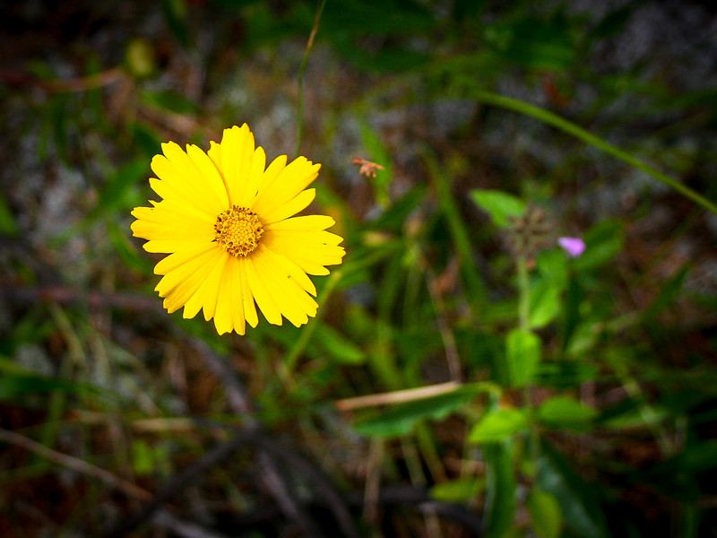 Lance-leaved Coreopsis growing amongst the dunes...