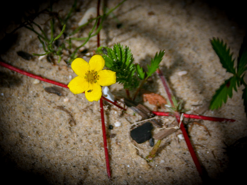 The tiny yellow flower of the Silverweed hugging the sand...