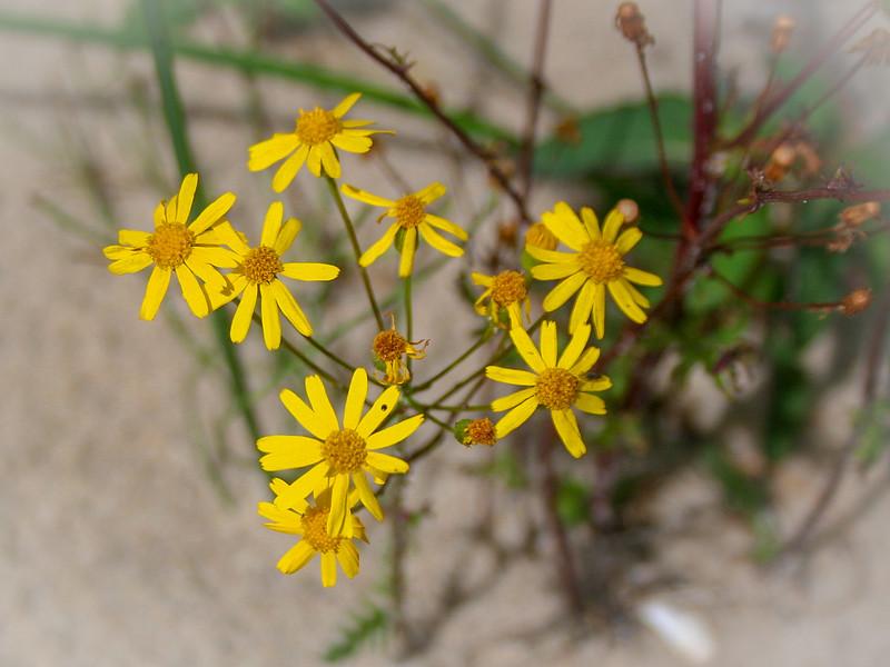 Ahh, Golden Ragwort my allergies greet thee...