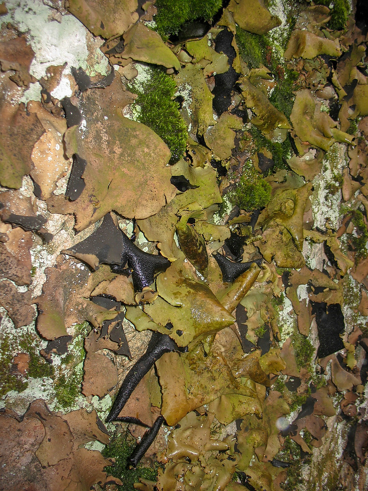 Foliose lichens on the rock face...