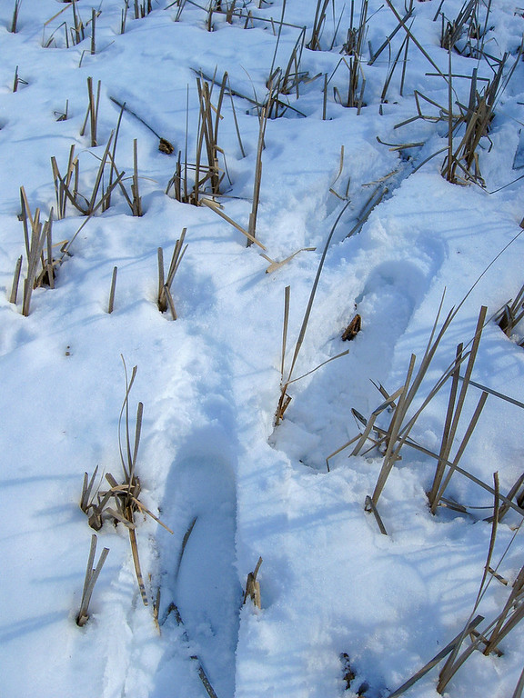 Snowshoeing through these reeds was quite annoying as one step might sink much deeper than the previous one...