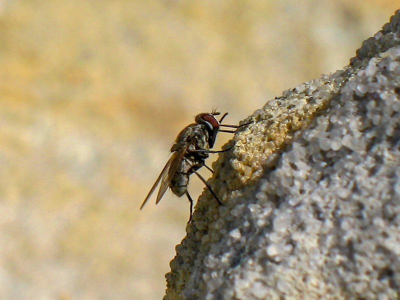 Stable Fly (aka. Flying Demon Torturers)