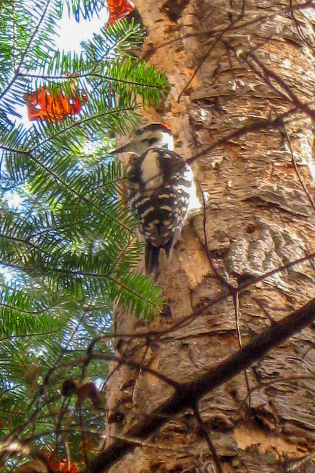 A Hairy Woodpecker, contentedly plunking away, didn't pay me near as much attention as I did it...