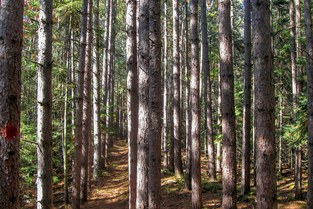 A quarter mile or so in the trail passes through a small Red Pine plantation...I spent an afternoon here a couple semesters before measuring trees here for an ecology class...looks about the same...