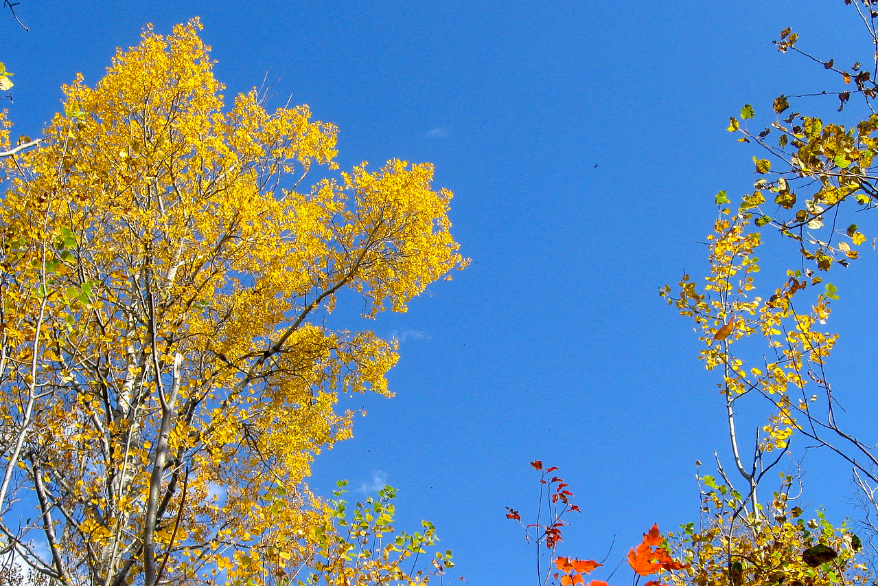 Young and old...an up-and-coming aspen on the right contrasts with is mature counterpart to the left...