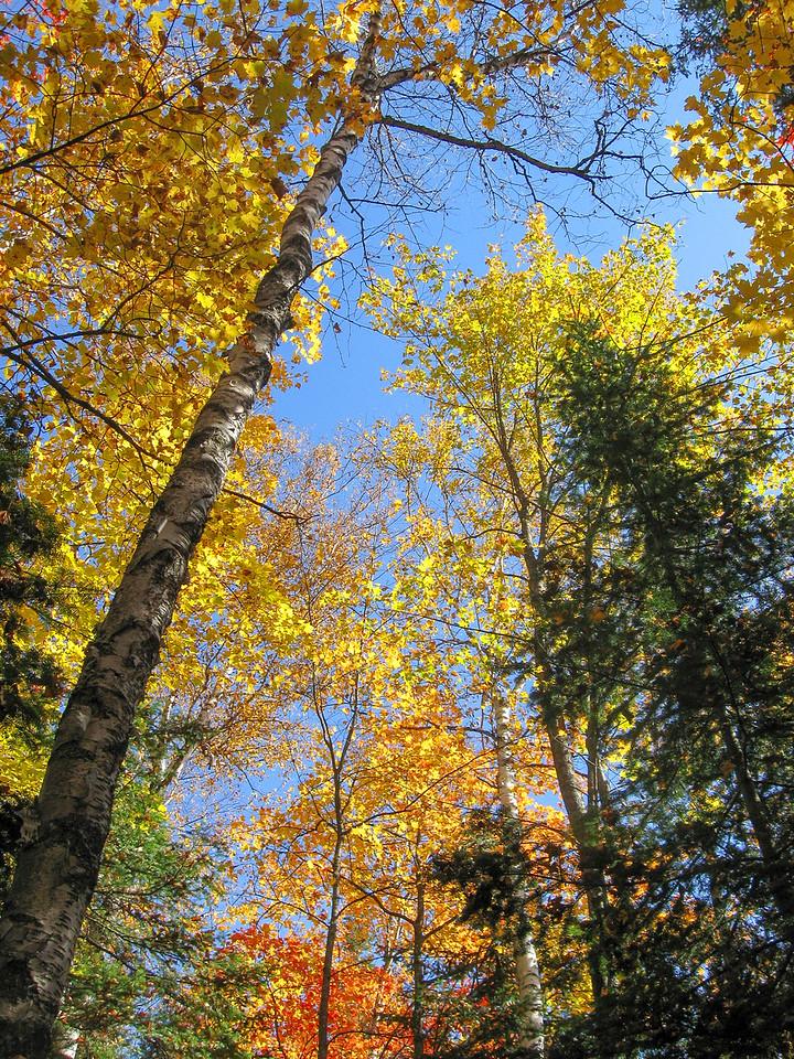 Bright yellows of the aspen...