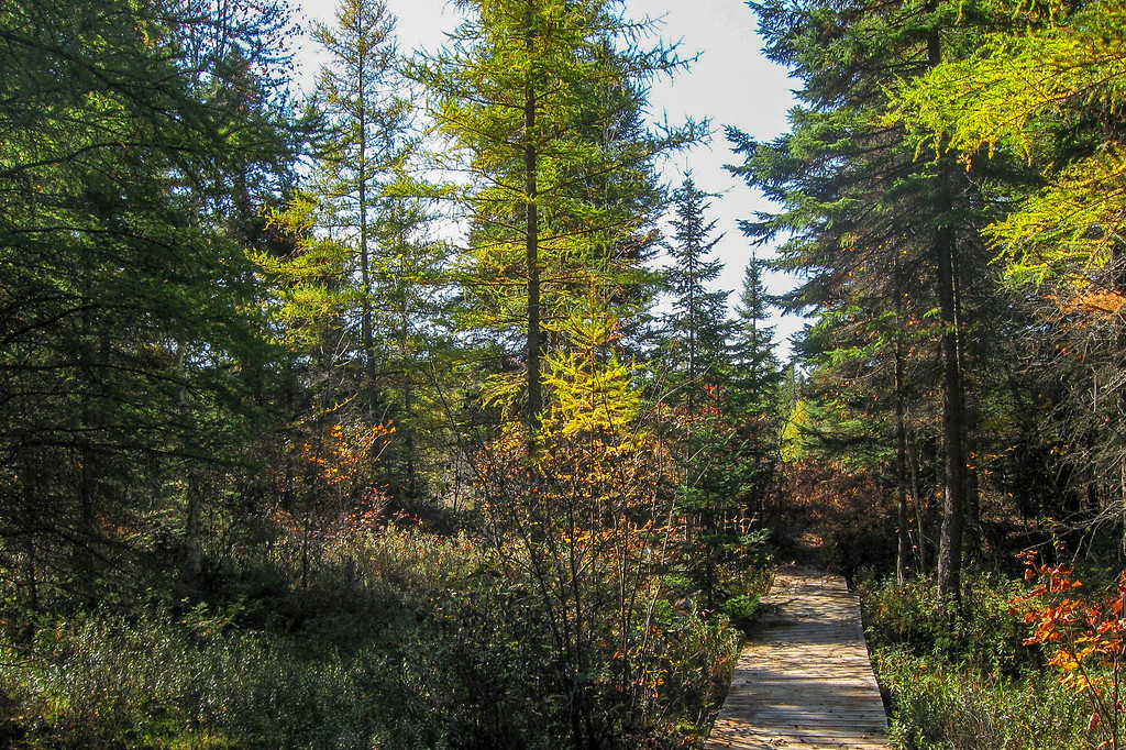 The Tamarack, Michigan's only deciduous conifer (an evergreen that drops its needles each year), helps extend the color season a bit each year...