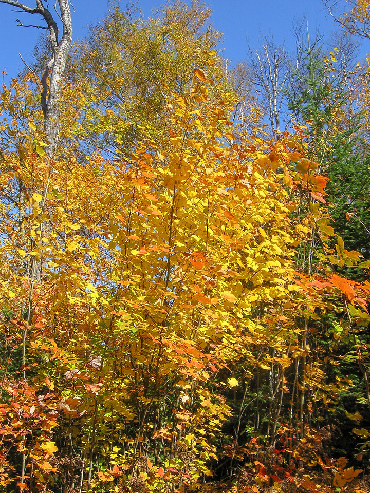 Question answered...I had been wondering all summer what color a Striped Maple displays...