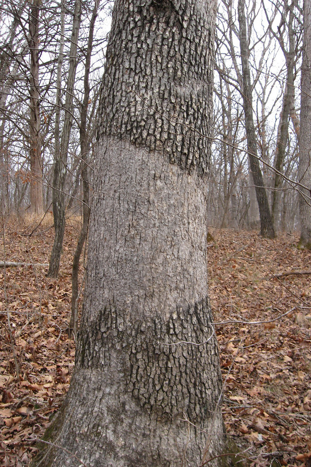 Not sure what would cause these unusual flattened areas on the bark, but most trees of this kind in the area had patches similar to this one...
