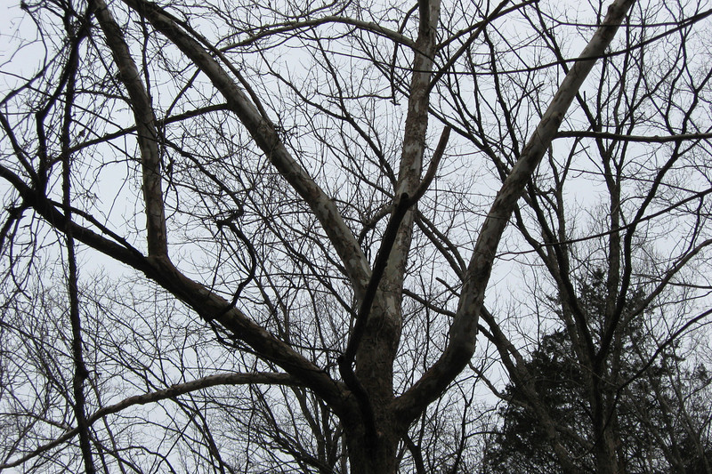 One of my favorite trees...a Sycamore with its tell-tale white bark...