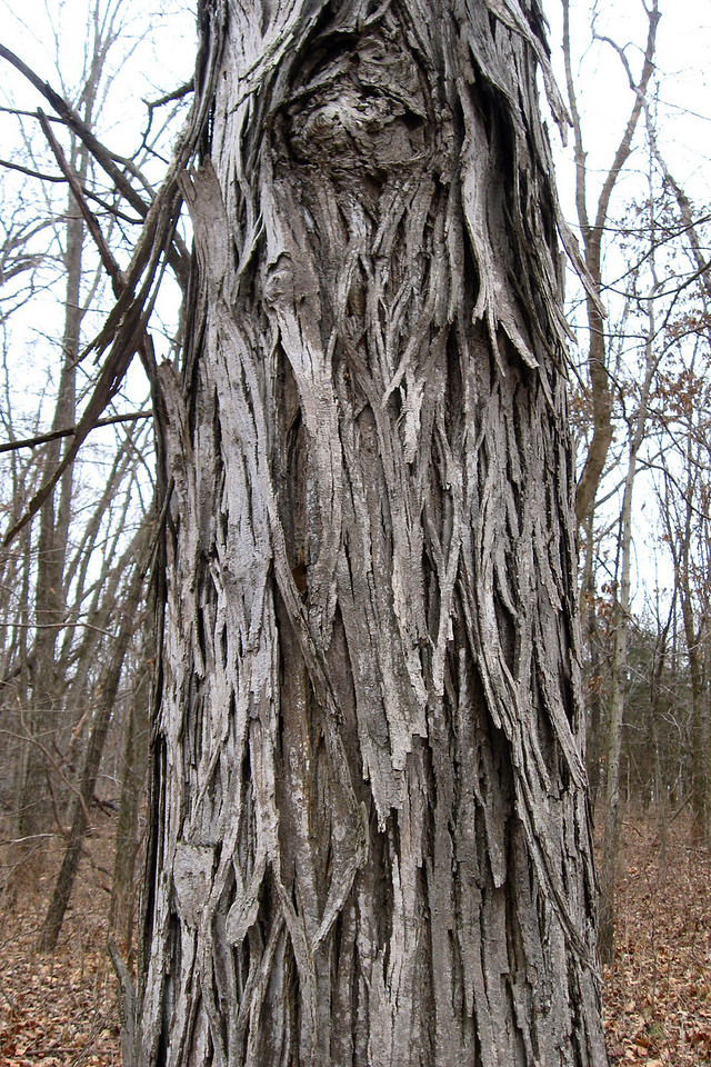 This one I knew, though we don't have these either in our neck of the woods...a Shagbark Hickory!