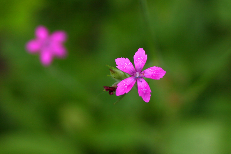 The delicate beauty of <i>Grass Pink</i>...