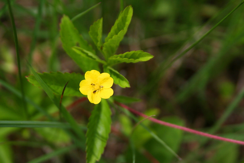 I almost stepped on this one...<i>Canada Dwarf Cinquefoil</i>...funny how many flowers I find that way...