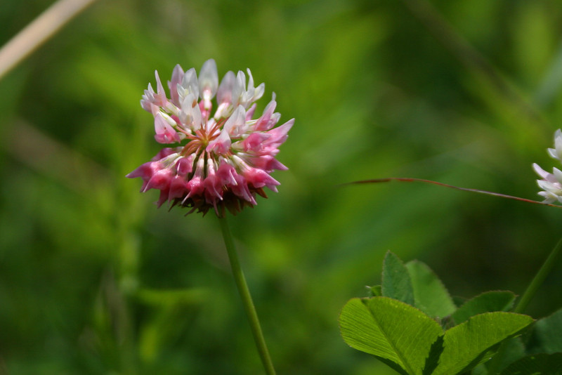 Not sure why I took this one...just some clover...still a bit pretty, I guess...