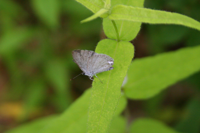 My butterfly knowledge almost non-existent but luckily the Kitty Todd website has a nice butterfly key...my best guess is that this is a <i>Spring Azure</i> which (according to my wife who saw it) has pretty blue wings when their open...