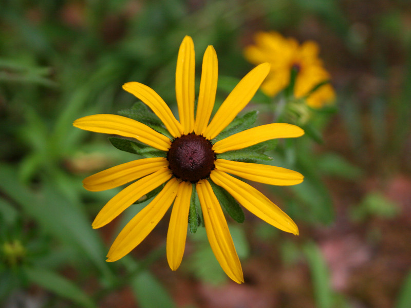 Starting off with a familiar flower...the <i>Black-eyed Susan</i>...