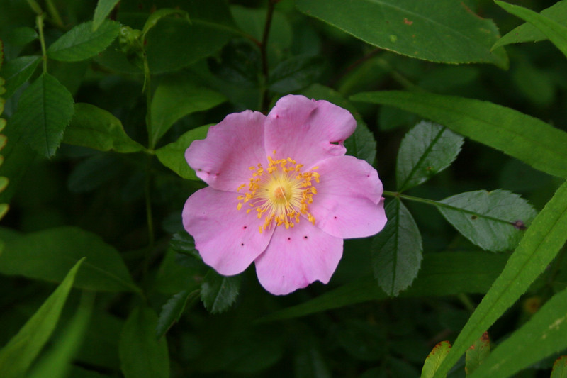 A <i>Wild Rose</i> lends its beauty to the thick all-encompassing greens...