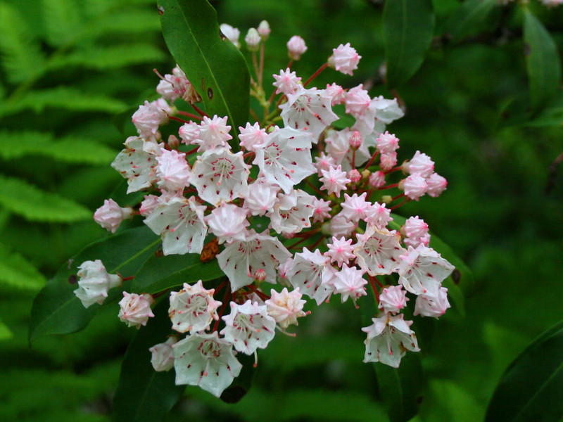 Ahhh...signs of the south...Mountain Laurel in full bloom lined the trail to the summit...