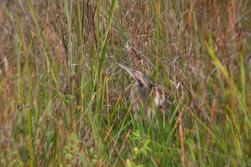 Not a great shot, but I had to include it as local birders expressed that this was a rather rare sighting for the trail...an American Bittern...