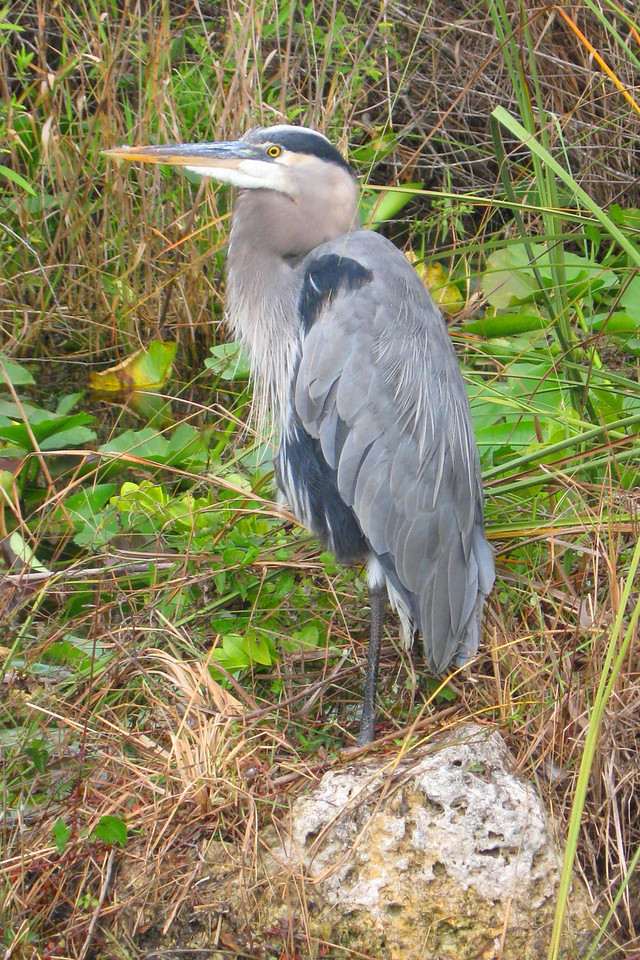 Very rarely do I get wildlife to pose like this...this Great Blue Heron was very proud of himself...
