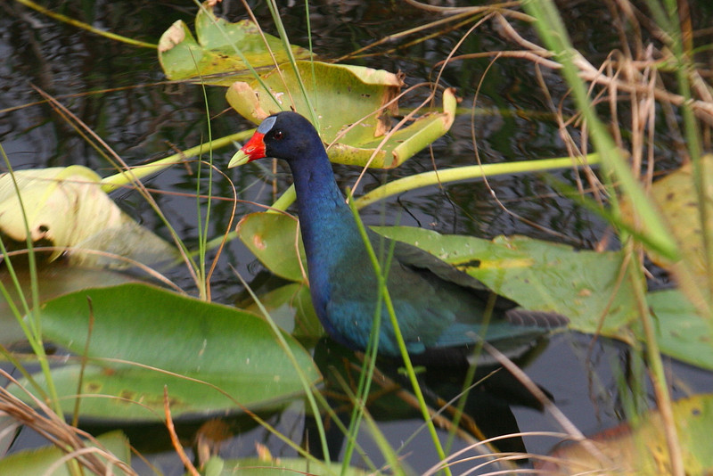 A special treat...a Purple Gallinule...