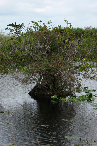 Around the far side of the loop the boardwalk passes a large Anhinga nesting area...how many can you spot?