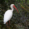A White Ibis, another of the more common birds in the area...