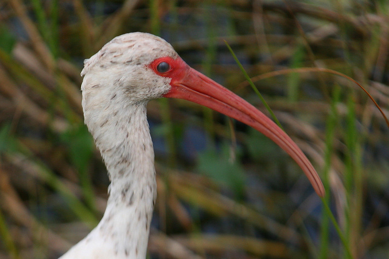 White Ibis...you may notice the slightly cloudy look to his eyeball, that's because he has an extra membrane he can close over his eye when he's probing for food in the water...