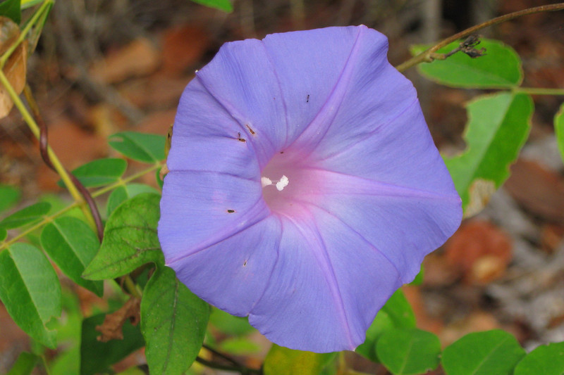 There were many of these Glades Morning Glory's scattered along the trail, providing a bit of color...