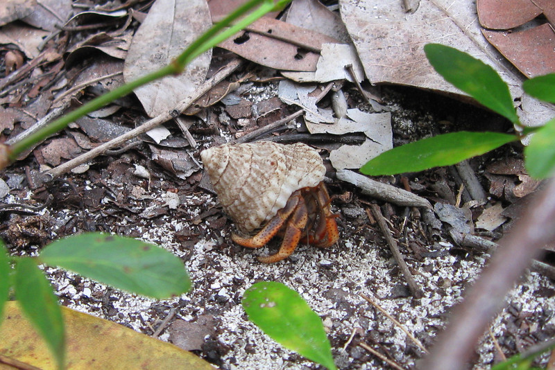 My youngest son spotted this tiny Hermit Crab scurrying amongst the brush...