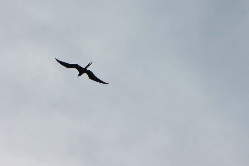 One of the birds I most wanted to see in the Keys...the Magnificent Frigatebird...