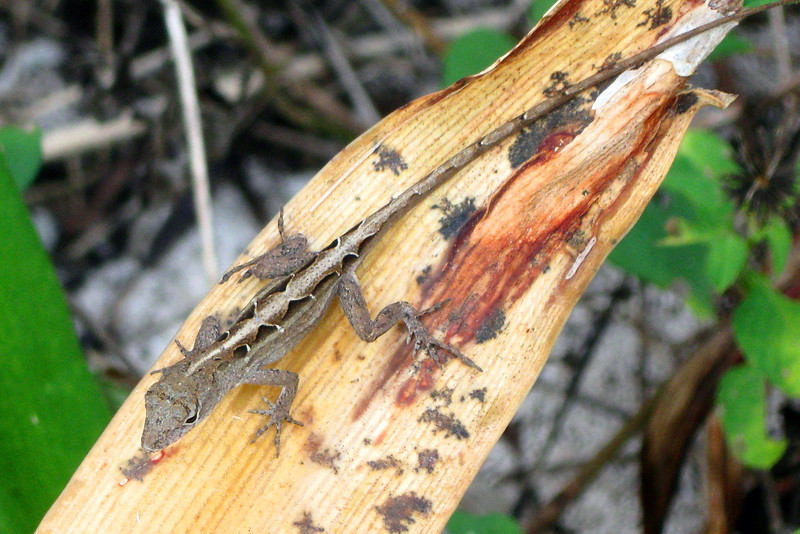 A Brown Anole hanging out quietly watches us pass...